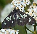 Moth species - Gnophaela latipennis - female