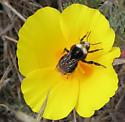 CA Poppy - Bombus vosnesenskii