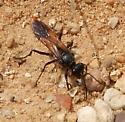wasp - Sphex lucae