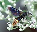 Scoliid Wasp - Scolia dubia