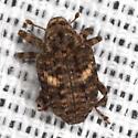 Weevil - Eubulus obliquefasciatus
