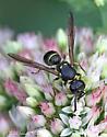 Mason Wasp - Ancistrocerus antilope - female