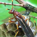 Polistes Annularis - Standing Guard?  (with bonus bug...) - Polistes annularis - female