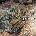 grasshopper - Melanoplus lakinus - male - female