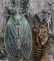 Cicada after emerging - Cicadidae  - Platypedia