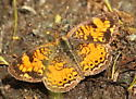 Pearl crescent - Phyciodes tharos - Phyciodes tharos - male
