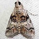 moth - Pococera subcanalis - male