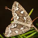 Moth - Caripeta divisata