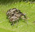 Curculionidae - Smicronyx lineolatus - male - female