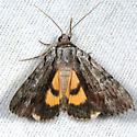 Graceful Underwing - Catocala gracilis