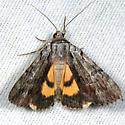 Graceful Underwing - Catocala gracilis