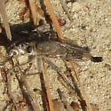 Robber Fly - Efferia