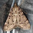 Moth came inside - Aglossa pinguinalis