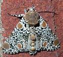 Harris's Three Spot - Harrisimemna trisignata - male