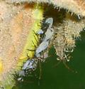 Green bug nymph? - Anasa tristis