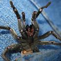 Not a tarantula... - Calisoga