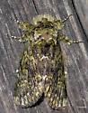 Green Furry Moth
