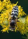 solitary wasp – genus Bembix? - Bembix