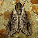 Paratrea plebeja - Hodges #7793 - Paratrea plebeja
