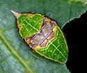 Is this a Species Lithacodes fasciola - Yellow-shouldered Slug Moth - Hodges#4665 ? - Prolimacodes badia