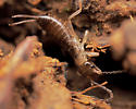 Immature Earwig - Forficula auricularia