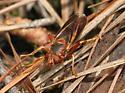 Orange Syrph - Teuchocnemis bacuntius