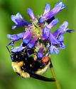 Bumblebee - Bombus nevadensis
