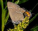 Hairstreak - Satyrium favonius - female