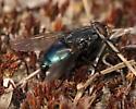 Warm day fly - Cynomya cadaverina