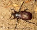 94516 Eleodes - Eleodes obscurus - male - female