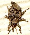 Curculionoidea - Eubulus obliquefasciatus
