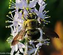 bumblebee? - Xylocopa virginica