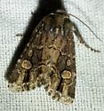 Moth - Hexorthodes serrata