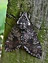 Moth - Manduca sexta