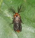Glowworm Beetle - Phengodes plumosa - male