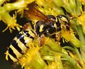 Wasp? - Myzinum quinquecinctum - female