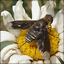 Unidentified Insect 2011 6 - Exoprosopa meigenii