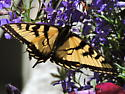 Canadian Tiger Swallowtail (Papillio canadensis) - Papilio canadensis - male