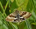Moth 404A 5169 - Heliothis ononis