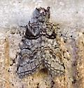 Arizona Moth - Afilia oslari