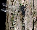 Tiger Spiketail - Cordulegaster erronea - male