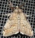 10/26/18 moth - Orgyia leucostigma - male