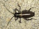 Large 'armoured' insect - Cyphoderris