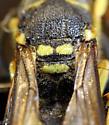 Ancistrocerus gazella - female