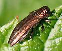Glitter Beetle ID? - Agrilus