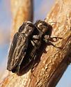 On Baccharis sarothroides branches - Chrysobothris beyeri