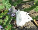 Checkered White? - Pontia protodice - male