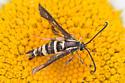 Synanthedon bibionipennis nectaring on daisy  - Synanthedon bibionipennis - female
