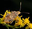 Bug ID - Niesthrea louisianica
