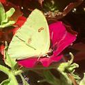 Sulphur #1 07/06/16 - Phoebis sennae